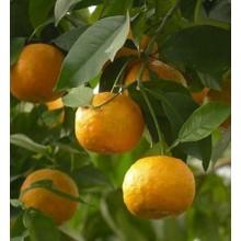 Bitter Orange Essential Oil 10ml