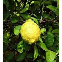 Citron (Citrus Medica) Essential Oil 10ml