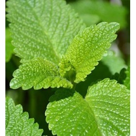 Lemon Balm (Melissa) Hydrosol 100ml