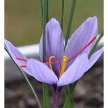 Saffron Essential Oil 10ml